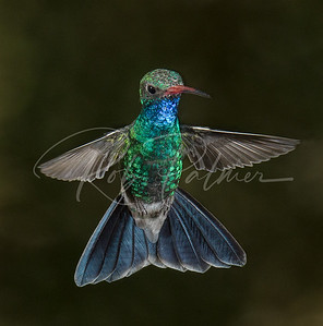 "Jeweled Hummingbird ""at least it is to me"""