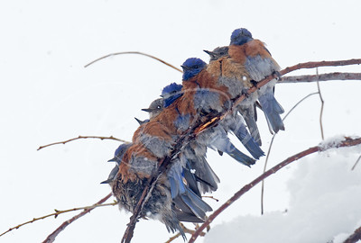 Western Bluebirds huddling together