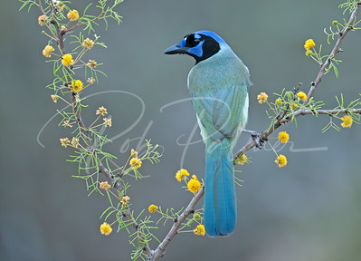 Green Jay on flowering plant.