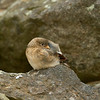 Snow Bunting Fledgling - Grimsey Island, Iceland<br /> *<br /> Nikon D5, 500mm f/4e AFS, TC-14eIII, f/7.1, 1/1250sec, ISO 2500<br /> *<br /> It is such a privilege to shoot a subject that could care less you're standing there.  That was the situation with this young snow bunting.  I sat at one end of this bird's small field of boulders and just let him do whatever he wanted to do.  Which, turned out to be a lot of stuff including being constantly fed by a male snow bunting.  In the midst of this subject jumping around like any youngster, it attempted a micro nap of about 30 seconds.  <br /> ____________________<br /> *<br /> #Nikon #Nikonphotography #naturephotography #iceland #grimseyisland #bird #birdphotography #snowbunting #fledgling