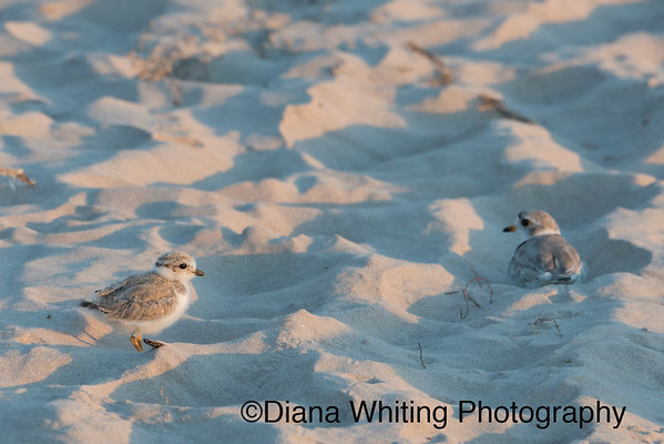 Male Piping Plover With Chick August Lake Ontario_DEW3913 copy