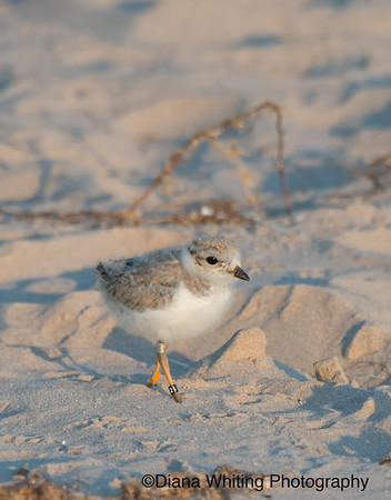 Piping Plover Chick Lake Ontario copy