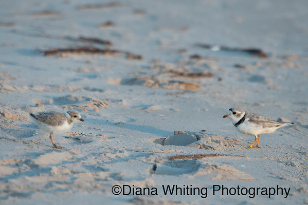 Lake Ontario Piping Plover Male With Chick