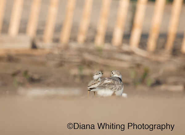 Male Piping Plover With Two Day Old Chick July 27th 2015_DEW0970 x