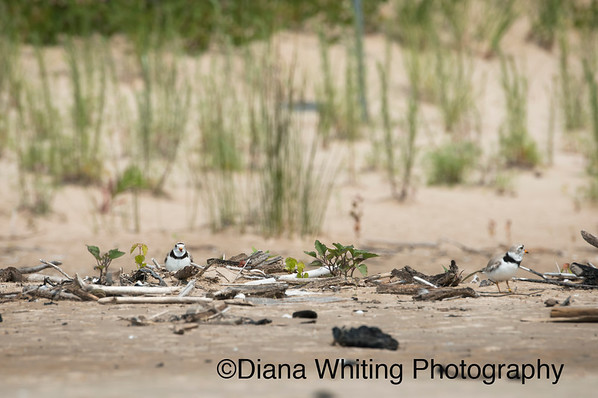 Piping Plover on Lake Ontario in  New York