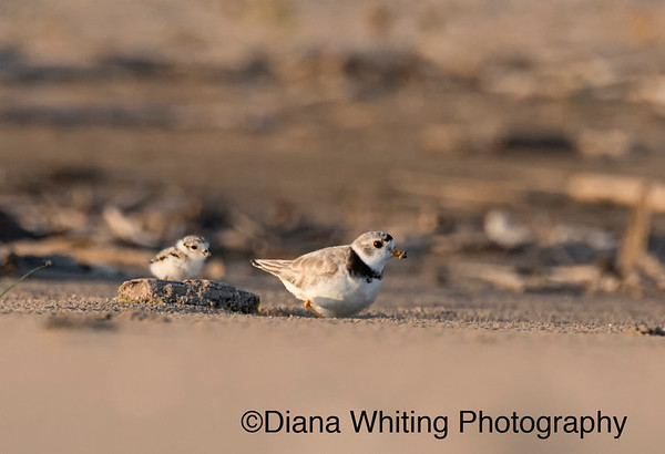 Piping Plover With Newborn Chick Lake Ontario