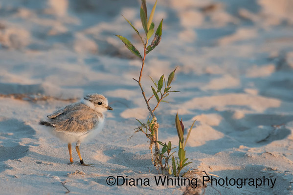 Pipipin Plover chick Lake Ontario_DEW3955 copy