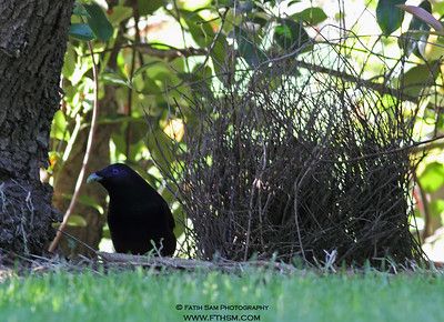 Satin Bowerbird with his bower