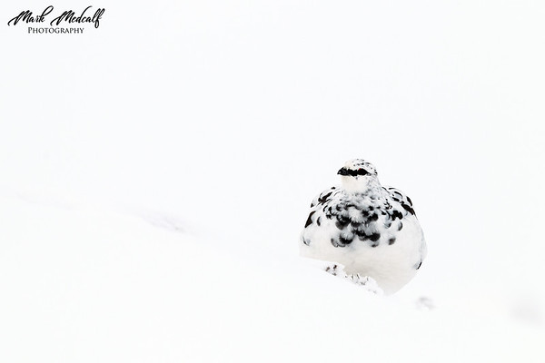 Black & White Ptarmigan