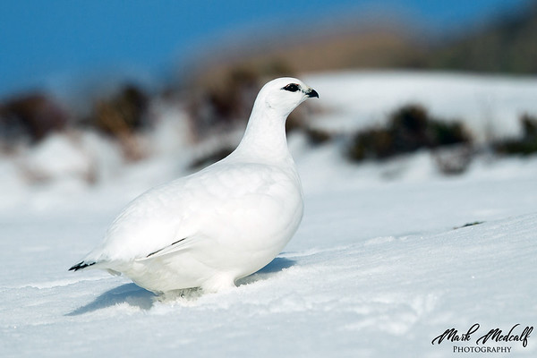 Female Ptarmigan