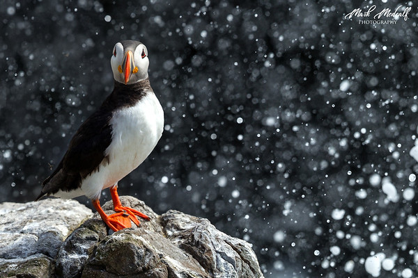 Puffin Shower