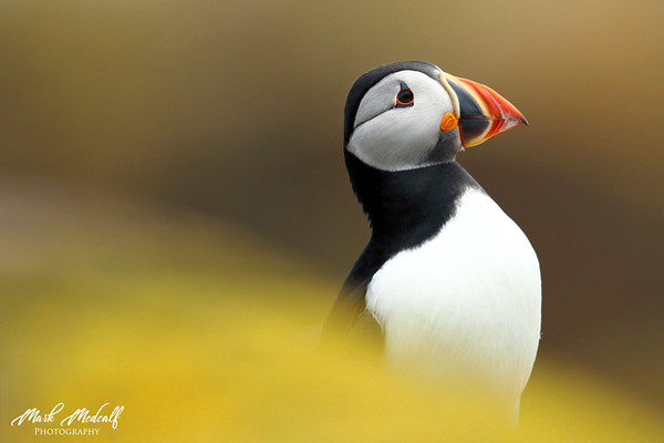 Proud Puffin