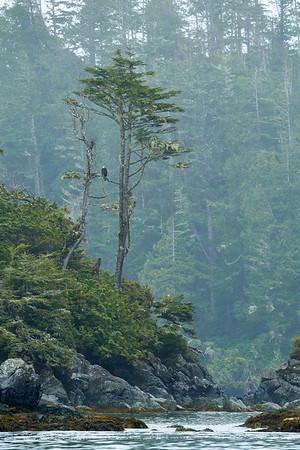 Bald Eagle Landscape - Pacific Rim National Park, British Columbia