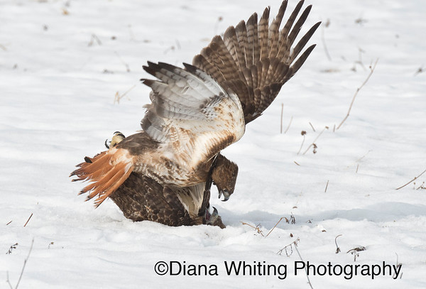 Red-tailed Hawk Fight_DSC2578 copy