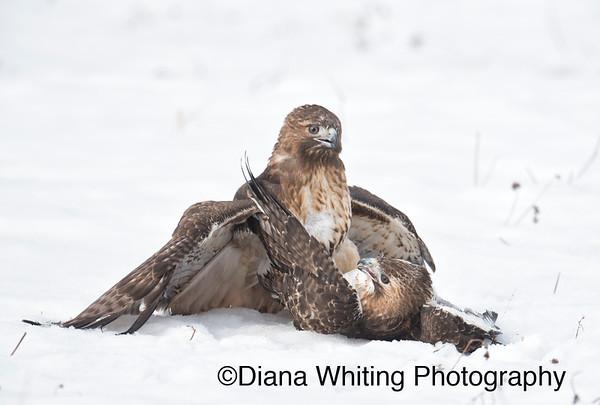 Red-tailed Hawk Fight_DSC5891 copy 2