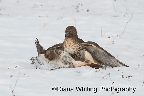 Red-tailed hawk Fight_DSC2368 copy