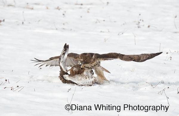 Red-tailed Hawk Fight_DSC2732 copy