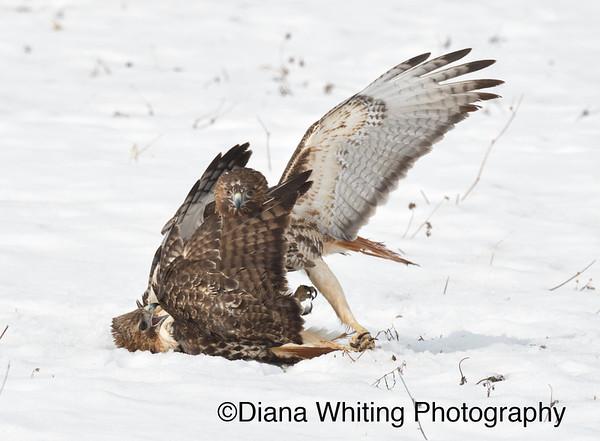 Red-tailed Hawk Fight_DSC2617 copy