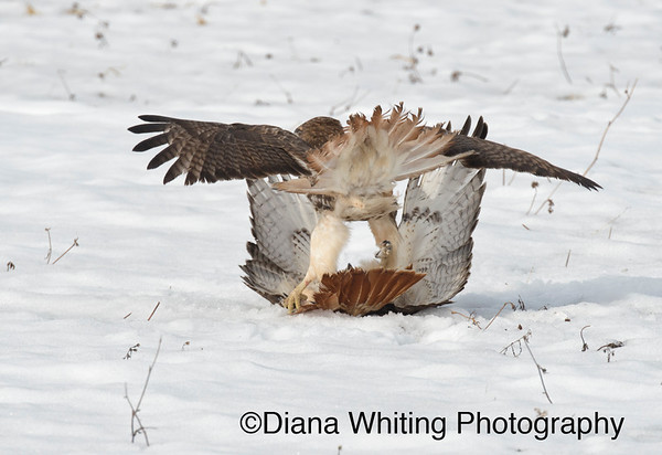 Red-tailed Hawk Fight_DSC2524 copy