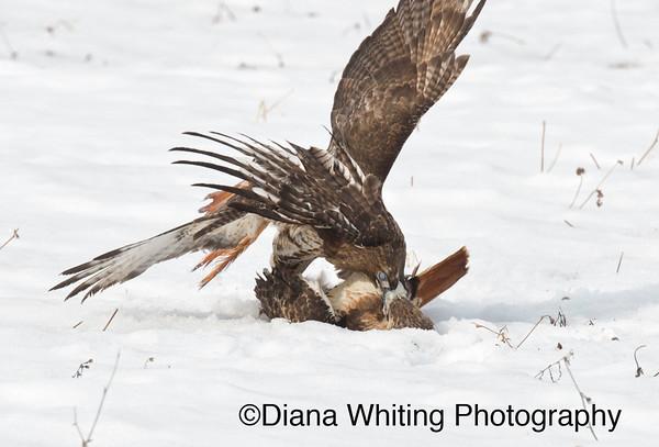 Red-tailed Hawk Fight_DSC2562 copy