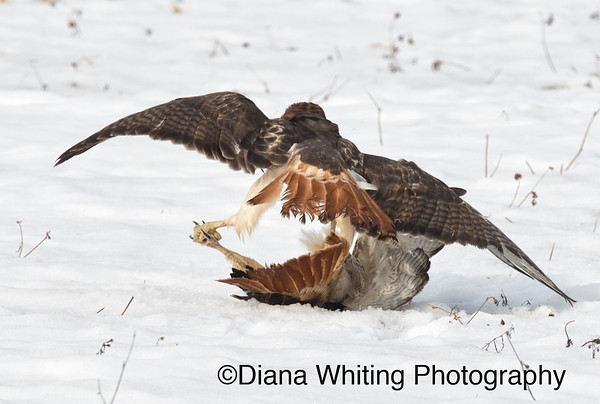Red-tailed Hawk Fight_DSC2517 copy