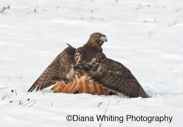 Red-tailed Hawk Fight_DSC2678 copy