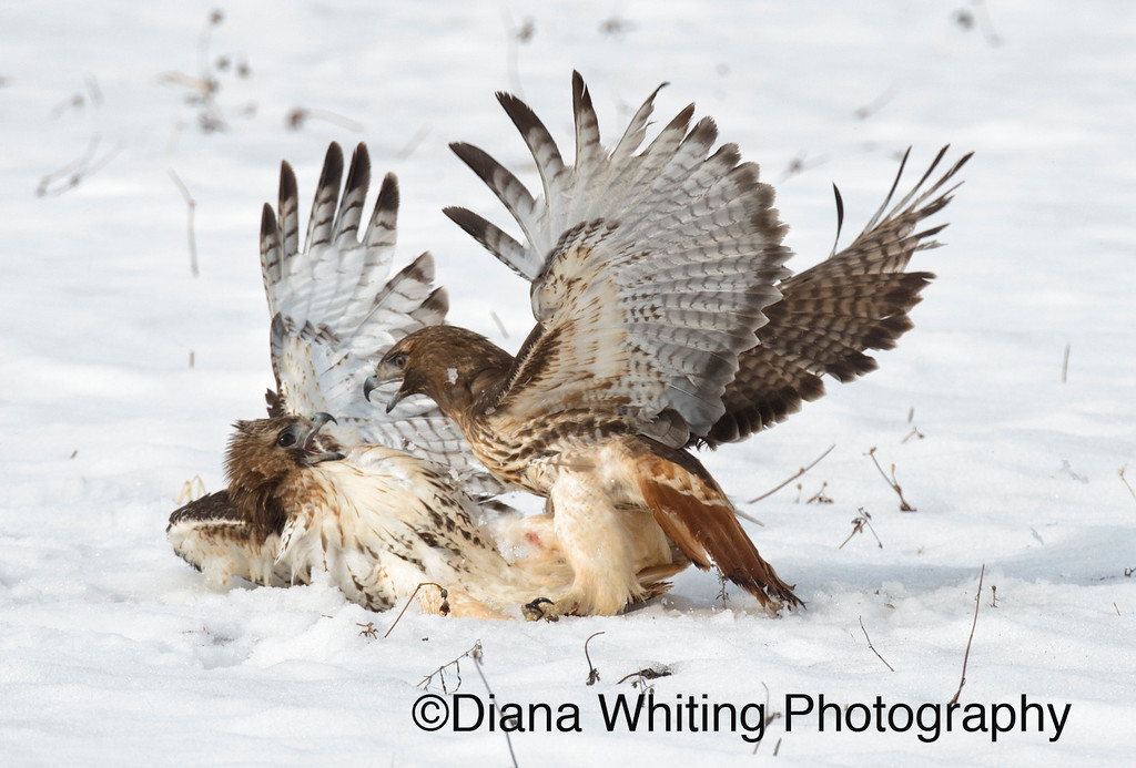 Red-tailed Hawk Fight_DSC2349 copy