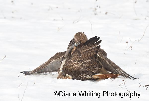 Red-tailed Hawk Fight_DSC2636 copy