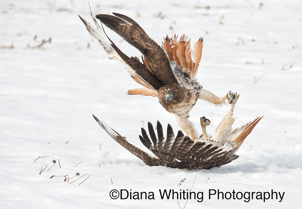 Red-tailed Hawk Fight_DSC2736 copy