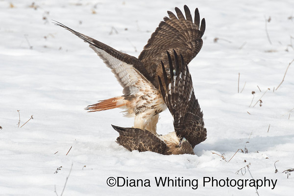 Red-tailed Hawk Fight_DSC2572 copy