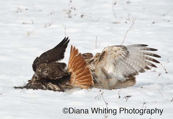 Red-tailed hawk Fight_DSC2585 copy