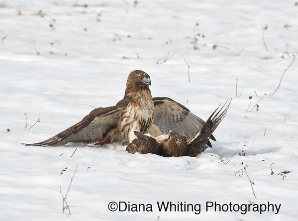 Red-tailed Hawk Fight_DSC2557 copy