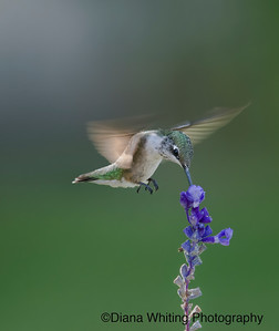 Ruby-Throated Hummingbird on Coleus