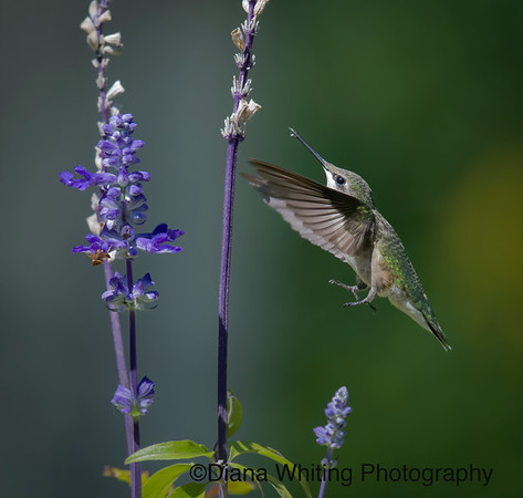 Ruby-throated Hummingbird on Salvia