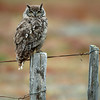 Magellanic (Great-horned) Owl