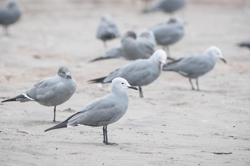 Gray Gulls