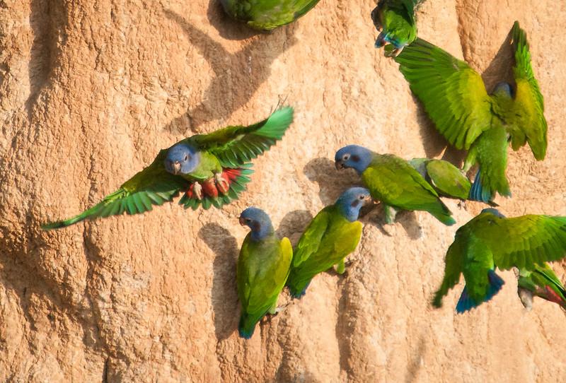 Blue-headed Parrots -- Blanco Parrot Lick, Madre de Dios valley, SE Peru