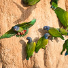 Blue-headed Parrots -- Blanco Parrot Lick, Madre de Dios valley, SE Peru