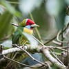 Versicolored Barbet