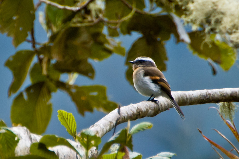 Rufous-breasted Chat-tyrant