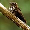 Blackish Nightjar, Parque Nacional Canaima, SE Venezuela