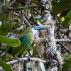 Blue-banded Toucanet