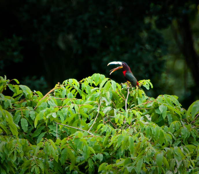 Ivory-billed Aracari