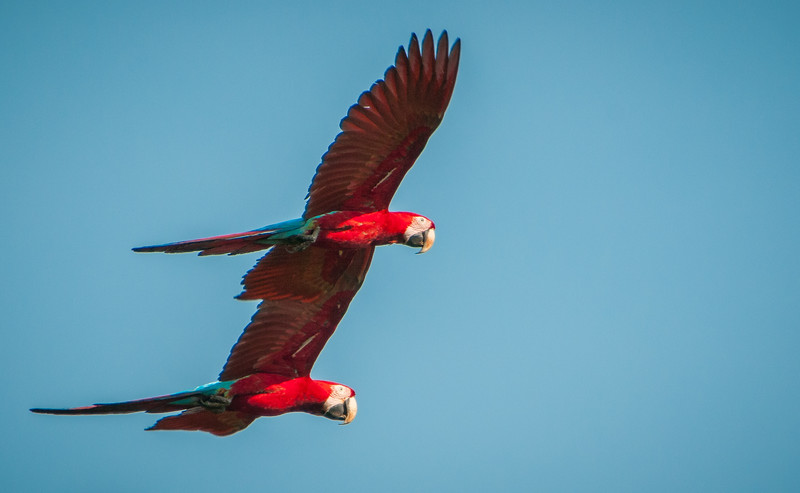 Red and Green Macaws Flying