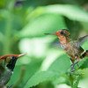 Rufous-crested Coquettes Courting