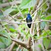 Sapphire-spangled Emerald