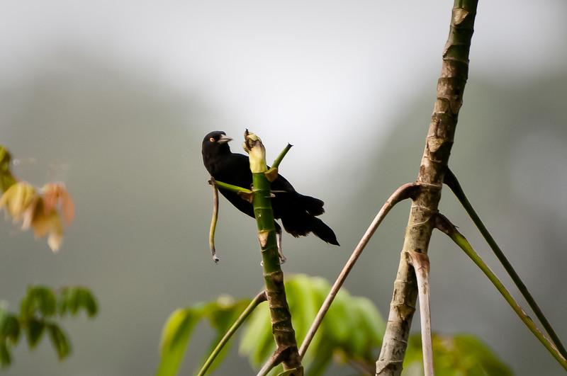 Pale-eyed Blackbird
