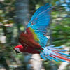 Red and Green Macaw Flying