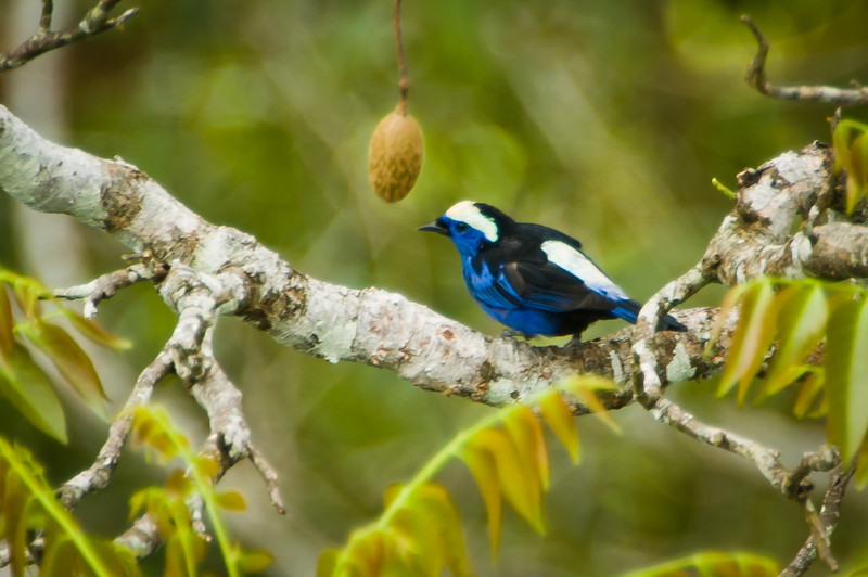 Opal-crowed Tanager