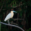 Capped Heron -- Peru